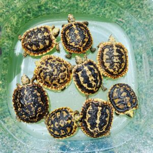 Baby Pancake tortoise for sale are some of the rarer of all species of baby tortoise for sale. Our African pancake tortoises are all 100% captive bred, and hatched here at the tortoise farm. African pancake tortoises for sale online are normally a little bit more expensive than most species of baby tortoise.