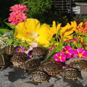 baby florida box turtles for sale