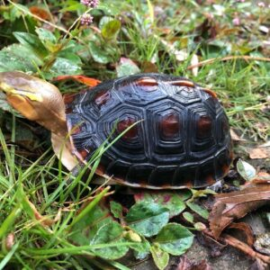 We have some absolutely stunning vividly colored chinese box turtles for sale at the best prices anywhere for this quality of animal.